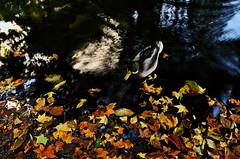 maruyama 324 (kaifudo) Tags: sapporo hokkaido japan maruyamapark autumn autumncolor mallard fallenleaves reflection         nikon d750 nikkor afs 24mmf14ged 24mm