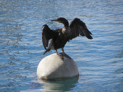 Piran, un cormoran