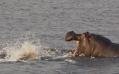 La Lucha / The Fight (José Rambaud) Tags: hippo hippopotamus hippopotamusamphibius hipopotamo lucha fight animal animals wild wildlife naturaleza nature natureza botswana africa chobe