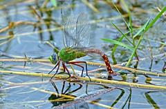 Comet Darner-Depositing Eggs-Anax longipes (Stan in FL) Tags: comet darneranax longipes dragonflies dragonfly florida odonata nikon tamron