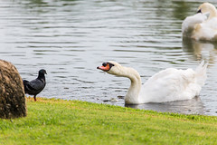 White swan floating on water surface near green grass bank (jack-sooksan) Tags: white swan bird pigeon animal float swim eating fish water pool surface eat look watch green grass floor bank pond wave food feed garden park goose waterbird neck wing feather poultry creature fly beak