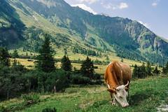 Kolm Saigurn (Satho73) Tags: nationalparkhohetauern kuh sterreich kolmsaigurn raurisertal