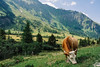 Kolm Saigurn (Satho73) Tags: nationalparkhohetauern kuh österreich kolmsaigurn raurisertal