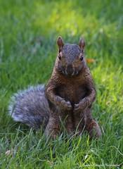 You are in my park ;) (Joanna Kurowski Photography) Tags: animals nature squirrel park greengrass outdoors canon canon70d joannakphotos londonontario springbankpark