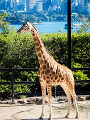 P1150236 (Pursuedbybear) Tags: tarongazoo sydney sydney2016 giraffe giraffacamelopardalis