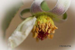 (Otra@Mirada) Tags: rosa deshojada amarillo flor pistilo estambre