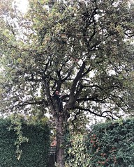 """Today's TPO oak thin and lift in Coventry. @gavinhobson1 in the tree #wardenstreecare <a style=""""margin-left:10px; font-size:0.8em;"""" href=""""http://www.flickr.com/photos/137723818@N08/30224166023/"""" target=""""_blank"""">@flickr</a>"""