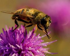 Applause (BirgittaSjostedt) Tags: macro bee insect wings antenna flower birgittasjostedt magicunicornverybest ie animal