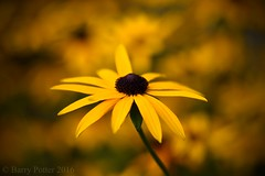 Rudbeckia (October 2016) #2 (Barry Potter (EdenMedia)) Tags: barrypotter edenmedia nikon d7200 rudbeckia