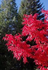 Red Leaves (rahtenkhamen) Tags: pentax k200d ricohrikenonp1250mm handheld 180 iso200 leaves