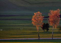 Birken - birch trees in evening sidelight (hans_de_kn) Tags: birken birchtrees abend evening streiflicht sidelight herbst autumn germany deutschland badenwrttemberg natur nature