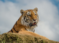 Tiger (Delboy Studios) Tags: wildlifeheritagefoundation wildcatwold
