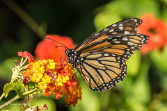 Monarch Butterfly D75_5537.jpg (Mobile Lynn) Tags: wild nature butterfly insects fauna wildlife benahavs andaluca spain es