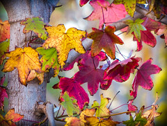 """Fall Splendor""  San Juan Capistrano, California (Cathy Lorraine) Tags: autumn fall splendor sanjuancapistrano california colorful leaves yellow orange red green nature fallcolors colors foliage outdoors ngc"
