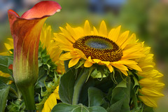 Flowers In The Sun (swong95765) Tags: flowers sunflower bokeh beauty beautiful pretty nature closeup colorful fragrant visual cornucopia