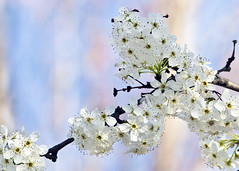 Aristocrat Pear Tree Blossoms 2009 (hz536n/George Thomas) Tags: canon 30d 2009 cs3 oklahoma spring stillwater ef300mmf4lisusm canon30d blossom bokeh cs5 tree