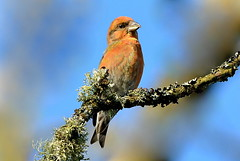 DSC7255  Crossbill.. (jefflack Wildlife&Nature) Tags: crossbill crossbills birds avian animal wildlife wildbirds woodlands finch finches forest forestry songbirds countryside nature
