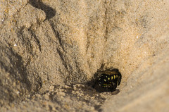 Digging for babies (Marco Antonio de Oliveira) Tags: bembibini campeche crabronidae beach nature nesting oviposition ovoposio praia predador predtor prole restinga sandbank wasp