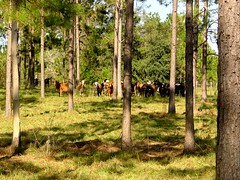 Livestock in a forest (USDAgov) Tags: agroforestry conservation forestmanagement forestry forests nationalagroforestrycenter nationalforestproductsweek nrcs