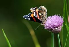 Profumo (lincerosso) Tags: fiori flowers erbacipollina aglioungherese alliumschoenoprasum insetti farfalle butterflies vanessaatalanta primavera bellezza armonia profumo