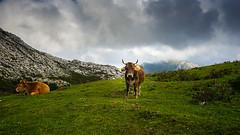 Curious (TanzPanorama) Tags: nature cow spain asturias picos picosdeeuropa tanzpanorama sonya7ii sonyilce7m2 fe1635mmf4zaoss sel1635z variotessartfe1635mmf4zaoss animal clouds sky countryside