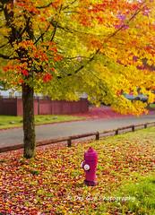 Colors of Fall (PhotoDG) Tags: colors fall season metrovancouver street cityscape tree maple leaf autumn foliage