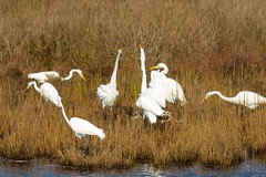 7K8A3845 (rpealit) Tags: scenery wildlife nature chincoteaque national refuge great egrets egret bird