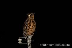 IMG_1781 (sullivan) Tags: canoneos7dmarkii ef400mmf56lusm adobephotoshoplightroom5 animal bokeh dof newtaipeicity nature suhaocheng taiwan ketupaflavipes        sullivan        tawnyfishowl