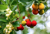 Bacche di Corbezzolo (MaOrI1563) Tags: corbezzolo corbezzoli bacche bacca arancione scandicci firenze florence toscana tuscany italia italy fiori verde bianco rosso