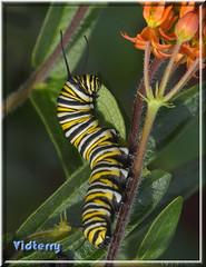Lovin' That Butterfly Weed Leaf (Vidterry) Tags: caterpillar monarchcaterpillar butterflyweed milkweed nikond4s tamron180mmmacro 11250thf16