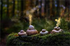 Smoker 2016 (Traumflieger_Foto) Tags: erdsterne sporenwolke sporen traumflieger gewimperteerdsterne makro pilze pilzecke