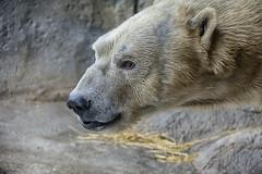 Nikita portrait (ucumari photography) Tags: ucumariphotography nikita polarbear ursusmaritimus oso bear animal mammal nc north carolina zoo osopolar ourspolaire oursblanc eisbär ísbjörn orsopolare полярныймедведь november 2016 dsc8825 specanimal 北極熊