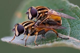 Helophilus pendulus couple