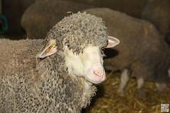 Rasta Sheep (Alex..H) Tags: bergerienationale rambouillet sheep mouton mrinos rasta laine wool merino france 78 yvelines