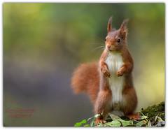 t'énerve pas!!! je t'explique!!! (guiguid45) Tags: nature sauvage animaux mammifères écureuil forêt loiret d810 nikon 500mmf4 écureuilroux eurasianredsquirrel squirrel