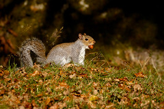 Just hiding my nuts! (ABPhotosUK) Tags: animals autumn burrator canon dartmoor devon ef14xextenderiii ef100400mmisii eos7dmarkii greysquirrel mammals nocrop norsworthybridge sciuruscarolinensis seasons teleconverter wildlife