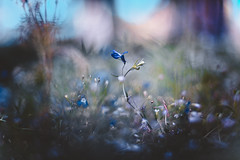 Flora (snegiri.bird) Tags: macro flora flowers summer purple