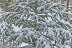 First snowfall of the season (Exdeltalady) Tags: pine pinetrees winter snowfall snow branches topaz pineneedles outdoor wondersofwinter evergreen
