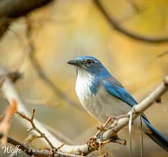 posing scrub jay (Aaron_Smith_Wolfe_Photography) Tags: scrubjay blue maple fall