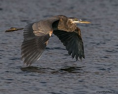 PVHerFlt2a (lfalterbauer) Tags: greatblueheron birdwatcher bird canon7dmarkii bokeh depth field peacevalleypark doylestown flight avian