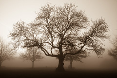 .......Winter Fog (paulchapmanphotos) Tags: fog mist trees foggyday winter branches leica monochrom m246 summilux 35mm f14 lightroom sepia bristol downs durdham