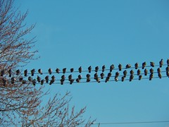 A Place in the Choir (MissyPenny) Tags: birds wire december blue nature outside pennsylvania usa