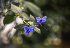 Like Butterflies (hploeckl) Tags: helios vintage prime nikon d750