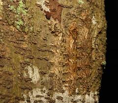 CRYPSIS (John Horstman (itchydogimages, SINOBUG)) Tags: insect macro china yunnan itchydogimages sinobug moth lepidoptera caterpillar larva 2 crypsis camouflage brown topf25