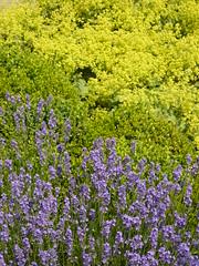 Lavendel - Buchs - Frauenmantel (Jörg Paul Kaspari) Tags: edingen juni tagderarchitektur 2010 sommer landgarten garten lavendel buchs frauenmantel lavandula buxus alchemilla bodendecker alchemillamollis