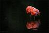dream couple (klaus.huppertz) Tags: heidelberg flamingo rosaflamingo wasser water schwarz black vogel bird tier animal zoo zooheidelberg natur nature outdoor rosa greaterflamingo phoenicopterusroseus nikkor nikon nikond750 d750 tele telephoto 300mm autofocus allnaturesparadise 300mmf28gvrii nikkor300mm28 nikonafsvrnikkor300mmf28gifed nikonflickrtrophy