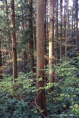 old man-made forest (travelbookmarker_m) Tags: tokyo japan edo forest ceder manmade takao
