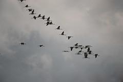 Vol de grues cendres (Samuel Raison) Tags: grues grusgrus oiseauxenvol birdsinflight birds oiseaux nikon nikond800 nikon4200400mmafsgvr