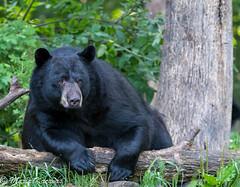 Black Bear (photosbymk) Tags: blackbear bear