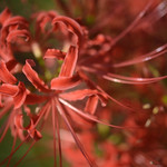 RED Spider Lily thumbnail
